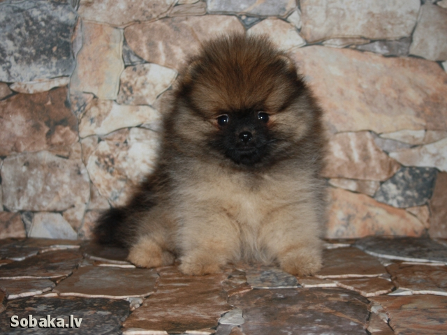 GERMAN SPITZ => THE DOG  
