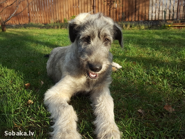Irish Wolfhound 112409.jpg