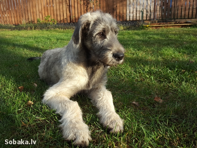 Irish Wolfhound 112410.jpg