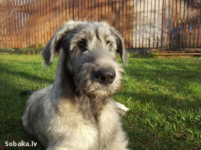 Irish Wolfhound 112411.jpg