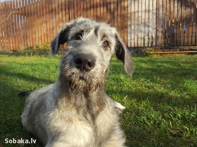 Irish Wolfhound 112412.jpg