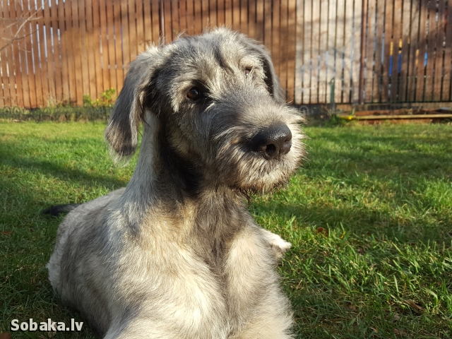 Irish Wolfhound 112413.jpg