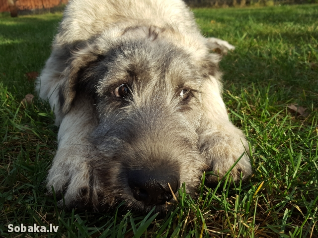 Irish Wolfhound 112414.jpg