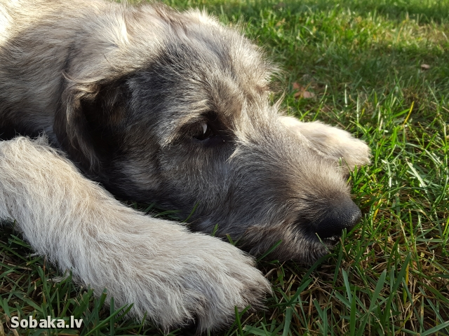 Irish Wolfhound 112415.jpg