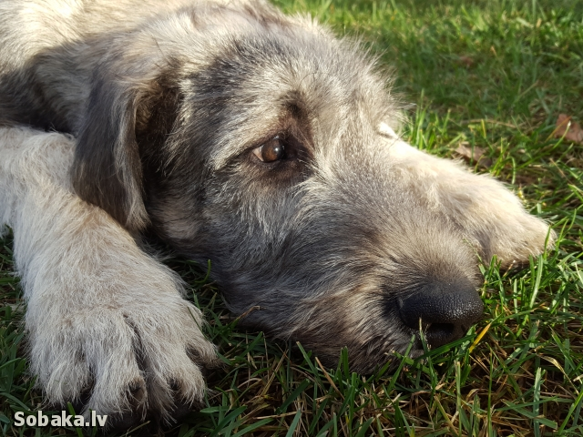Irish Wolfhound 112416.jpg