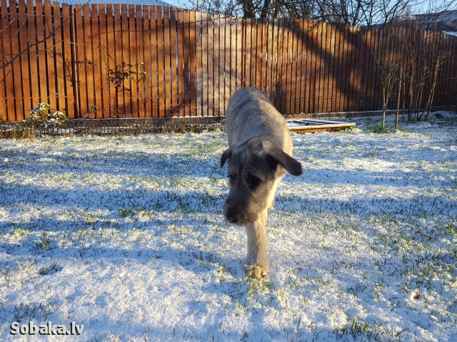 Irish Wolfhound 112417.jpg