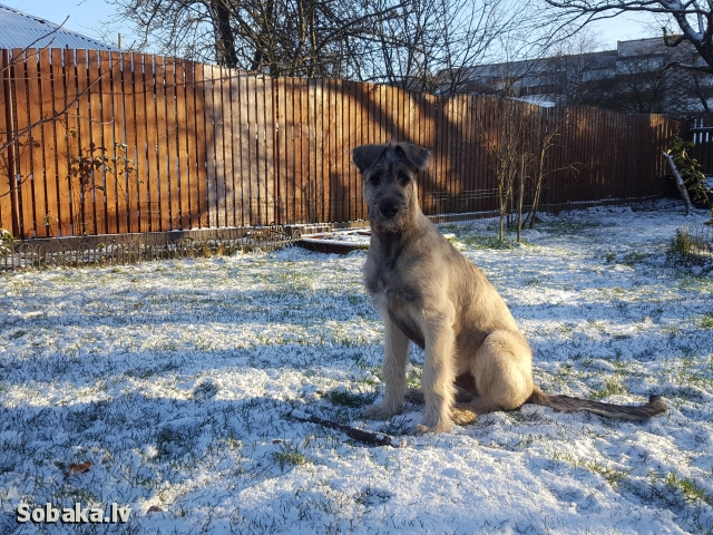 Irish Wolfhound 112421.jpg