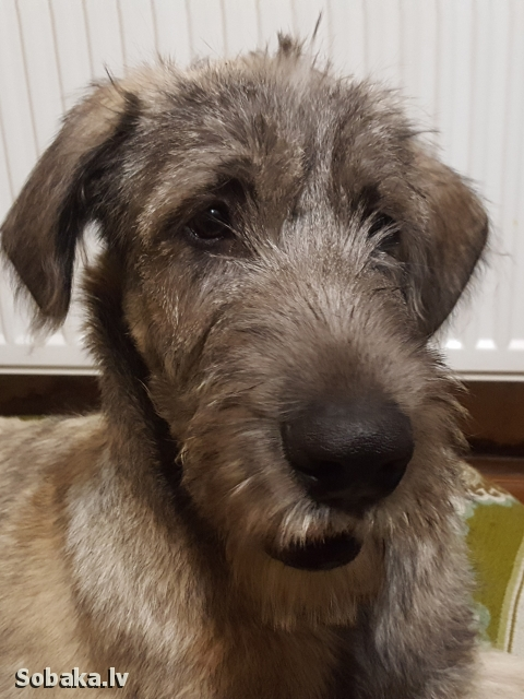 Irish Wolfhound 112422.jpg