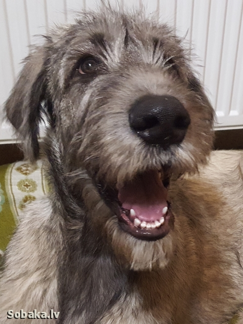 Irish Wolfhound 112423.jpg