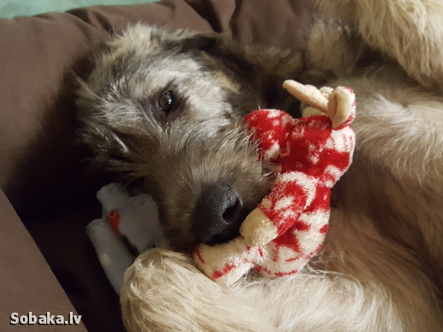 Irish Wolfhound 112426.jpg