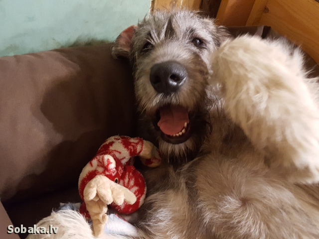 Irish Wolfhound 112427.jpg