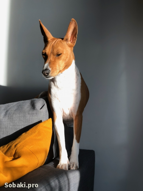 BASENJI => THE DOG  