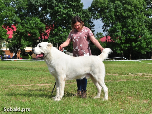 CENTRAL ASIA SHEPHERD DOG => THE DOG  