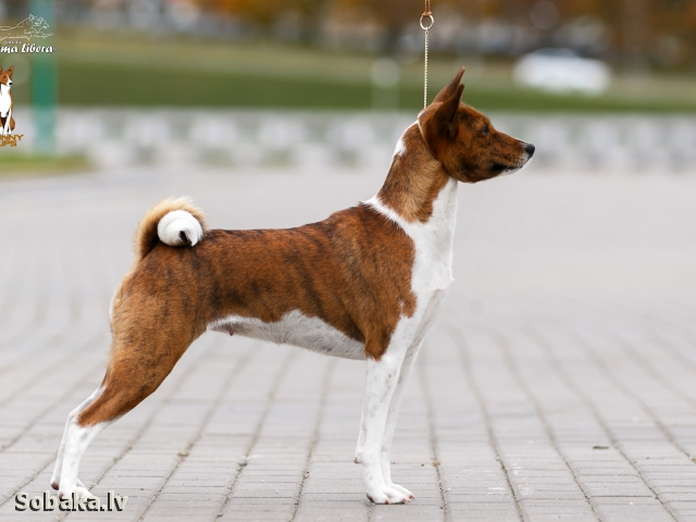 Basenji 