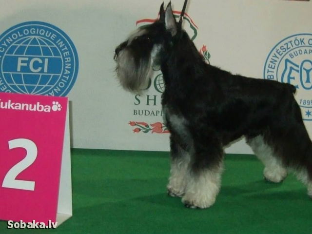 MINIATURE SCHNAUZER => THE DOG  
