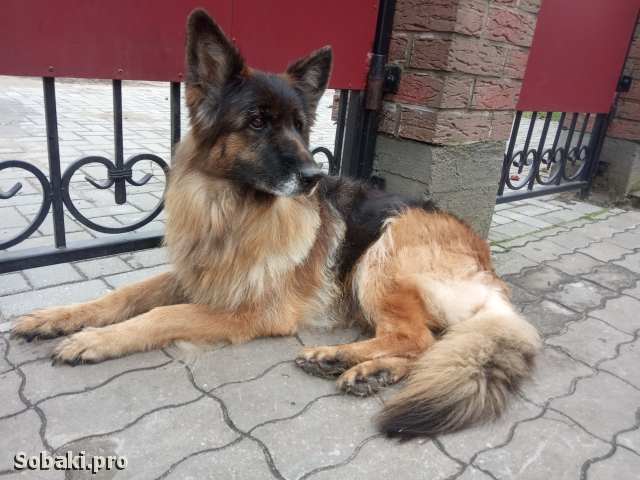 German Shepherd Dog 113523.jpg