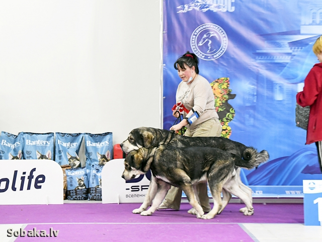 SPANISH MASTIFF => THE DOG  