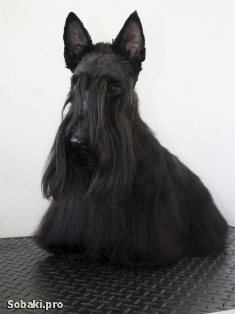 Scottish Terrier 113611.jpg