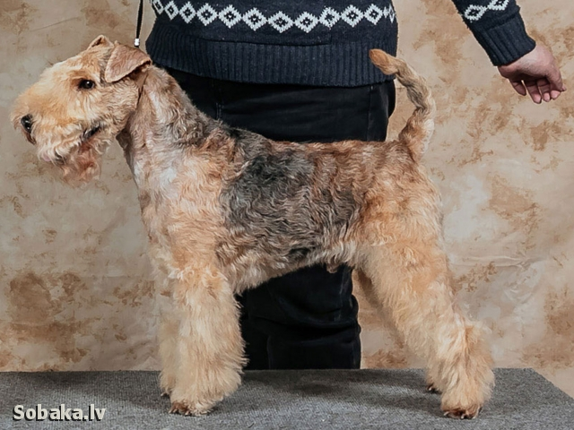 LAKELAND TERRIER => THE DOG  