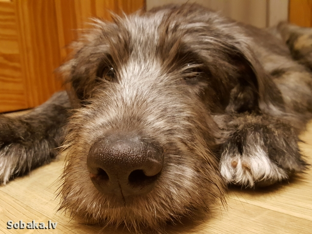 IRISH WOLFHOUND => THE DOG  