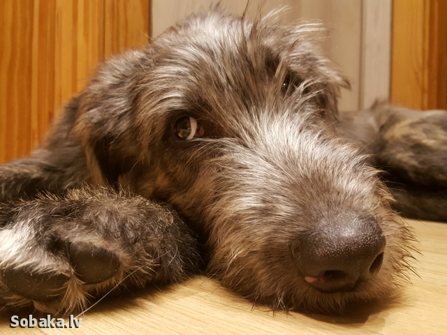 Irish Wolfhound 113911.jpg