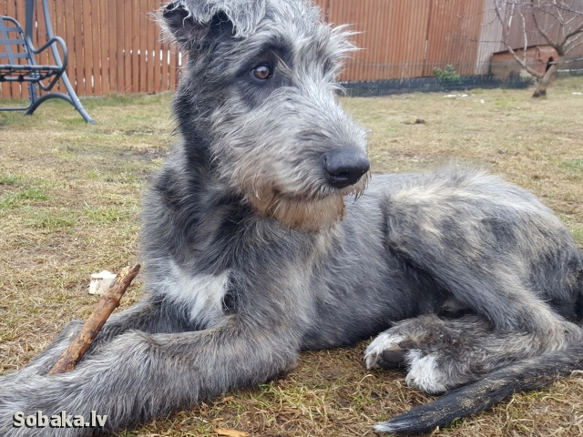 Irish Wolfhound 113919.jpg