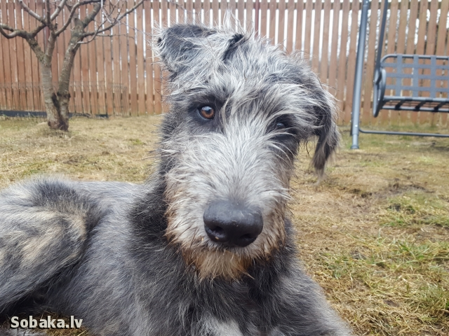 Irish Wolfhound 113920.jpg