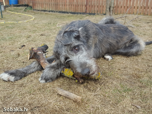 Irish Wolfhound 113921.jpg