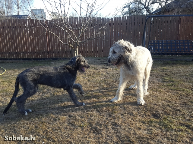 Irish Wolfhound 113923.jpg