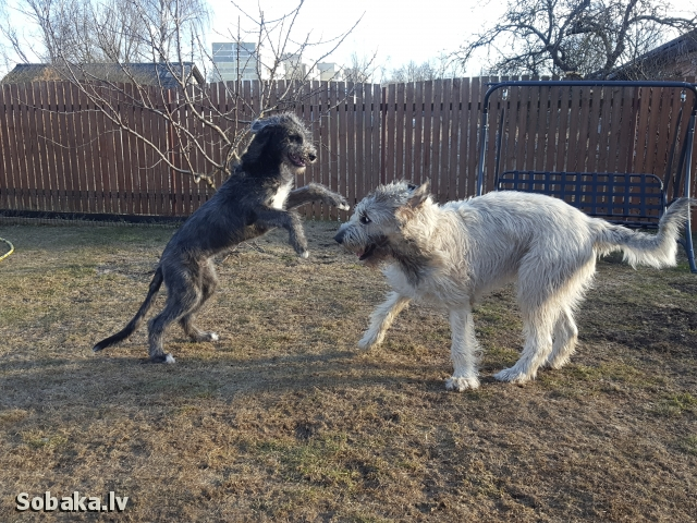 Irish Wolfhound 113924.jpg