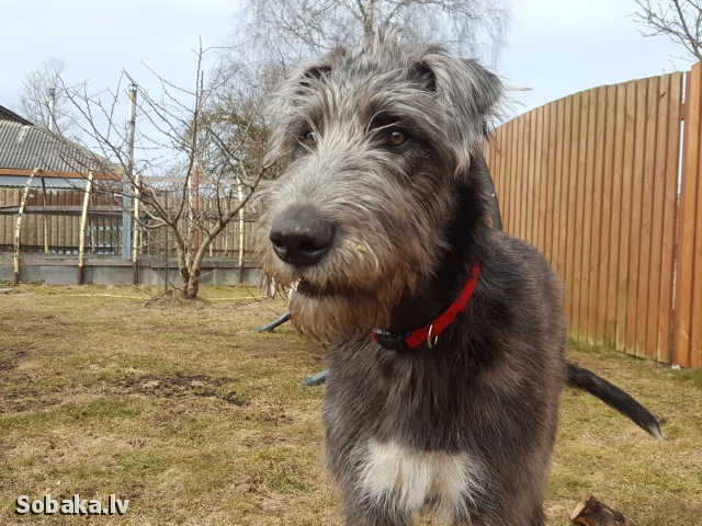 Irish Wolfhound 113925.jpg