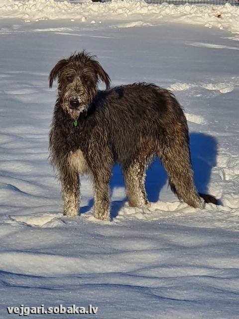 Irish Wolfhound 113930.jpg
