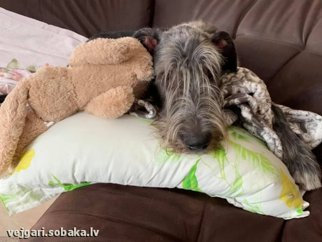 Irish Wolfhound 113936.jpg