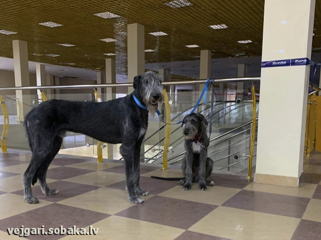 Irish Wolfhound 113941.jpg