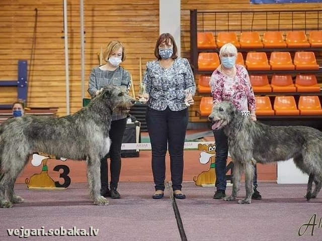 Irish Wolfhound 113944.jpg