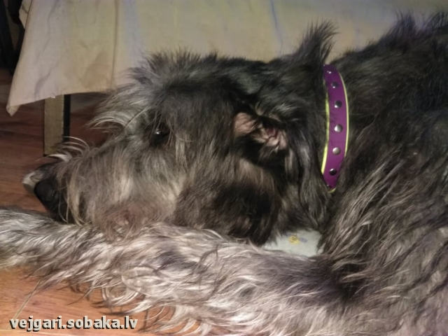 Irish Wolfhound 113946.jpg
