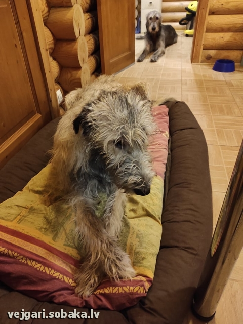 Irish Wolfhound 113953.jpg