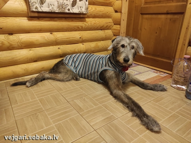 Irish Wolfhound 113959.jpg