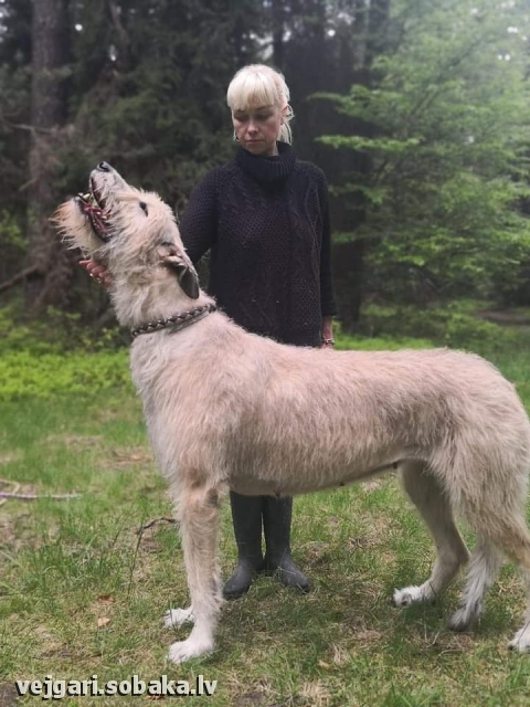 Irish Wolfhound 113960.jpg