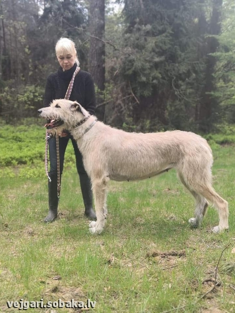 Irish Wolfhound 113961.jpg