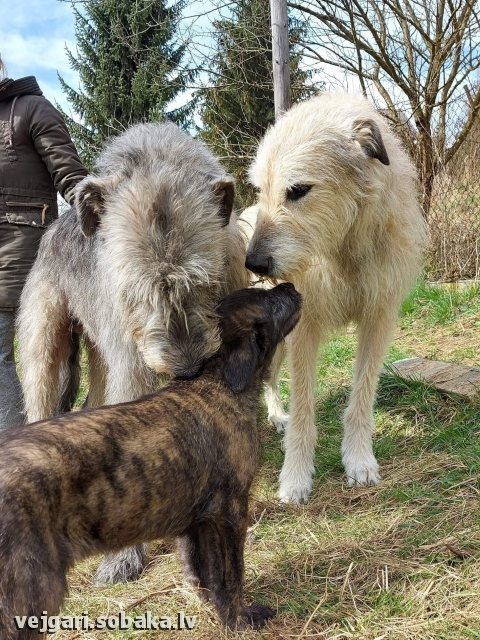 Irish Wolfhound 113999.jpg