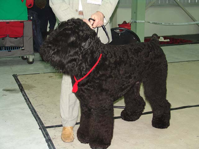 Black Russian Terrier (Black Russian Terrier)