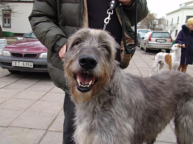 Irish Wolfhound Dwars' Valley Grand