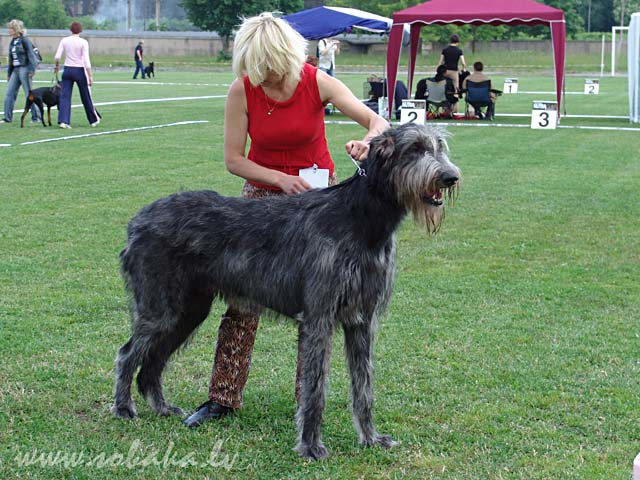 Irish Wolfhound Vejgari Feb