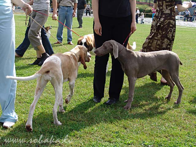 Weimaraner 