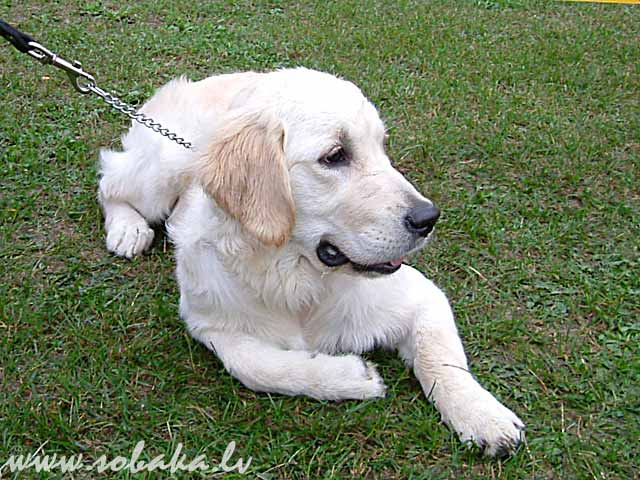 Golden Retriever (Golden Retriever) 