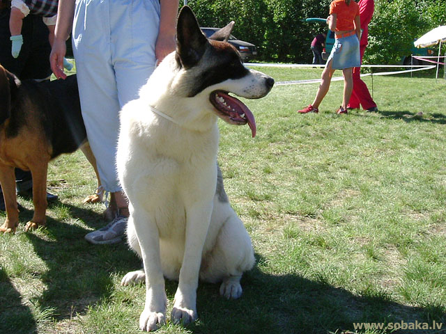 Great Japanese Dog, American Akita (Great Japanese Dog, American Akita) 