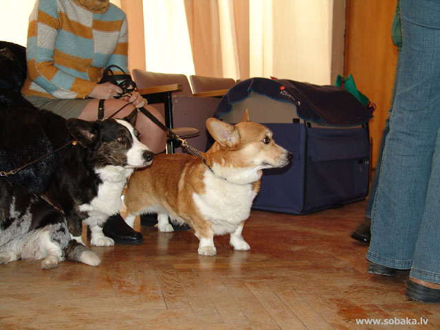 Welsh Corgi Pembroke 