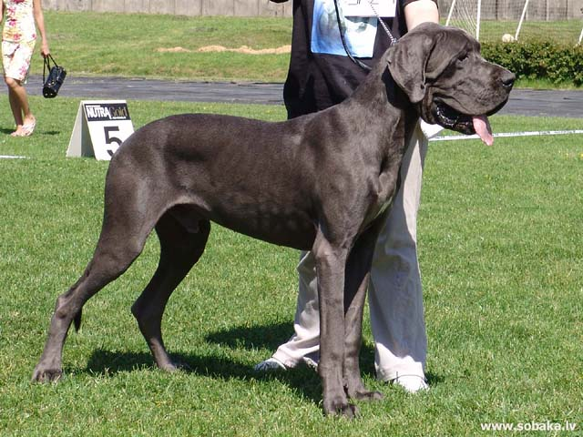 Great Dane (Great Dane) 