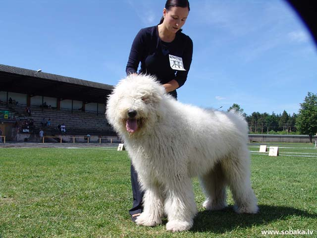 Komondor, Hungarian Sheepdog